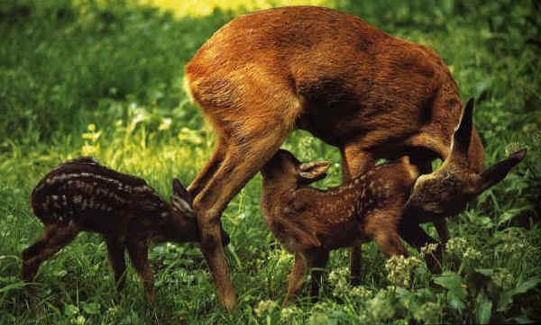 Capriolo caccia for Capriolo animale