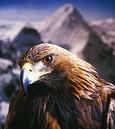 Aquila Reale..
