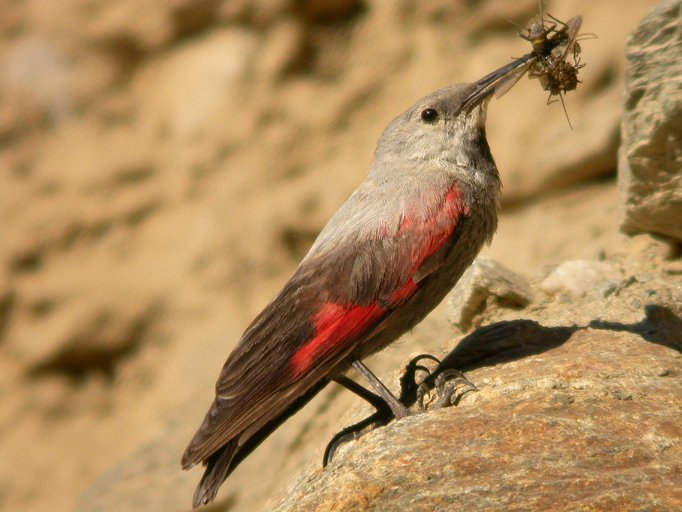 Picchio muraiolo for Il nido del picchio