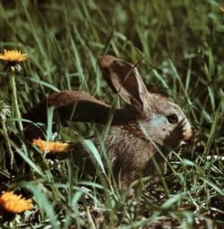 Clicca nell' immagine per aprire la scheda tecnica del Coniglio Selvatico