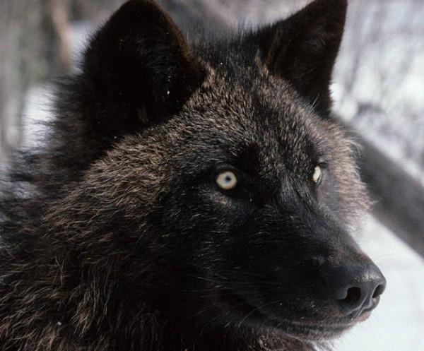 lupo-ibrido