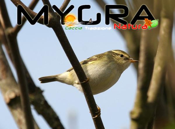 Luì forestiero (Phylloscopus inornatus)