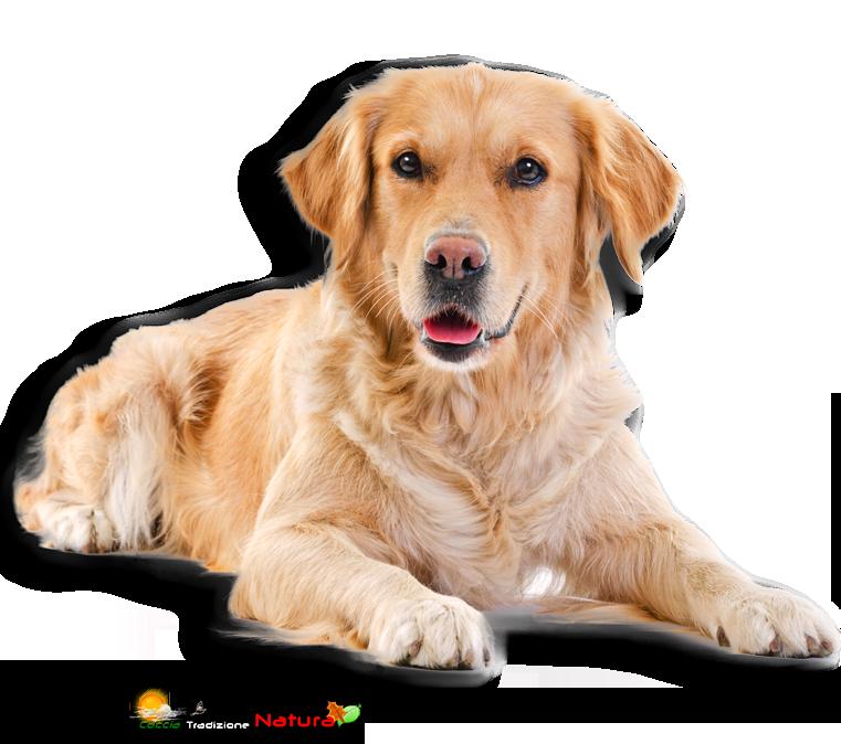 Labrador, cane geneticamente predisposto a ingrassare