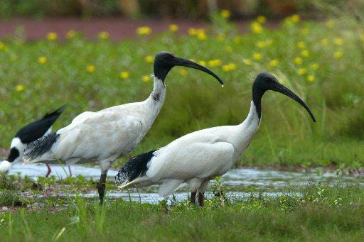 ibis new