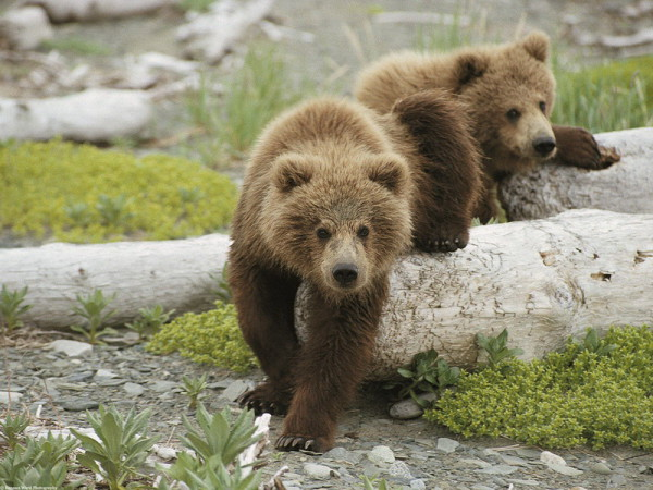 cuccioli-orso-bruno