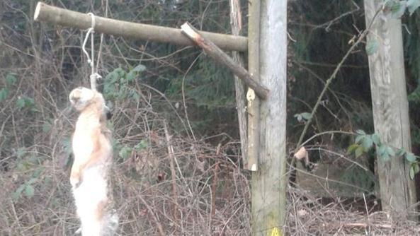 Lepre impiccata