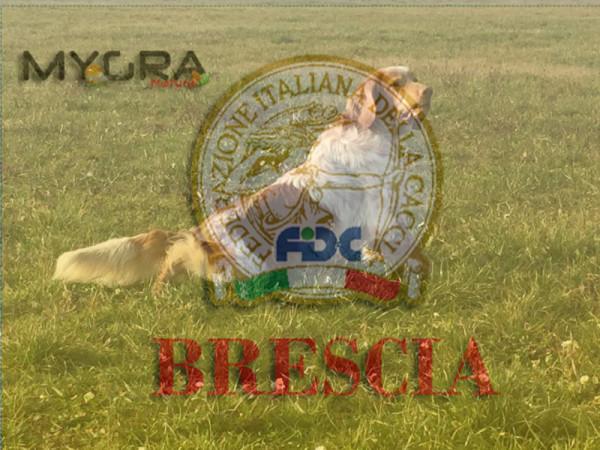 Setter inglese  + Fidc Brescia