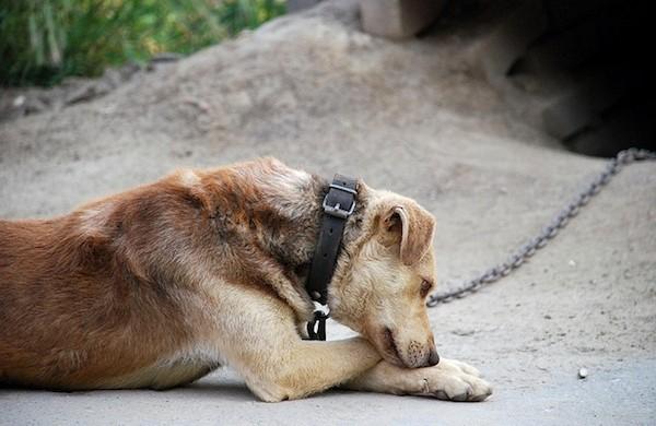Cane alla catena
