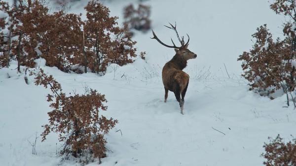 Cervo sulla neve