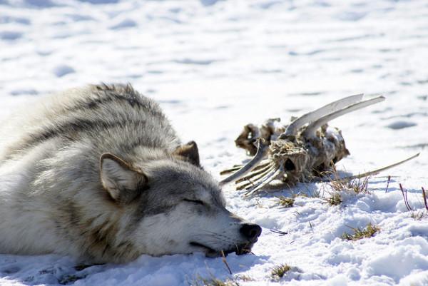 Lupo abbattuto