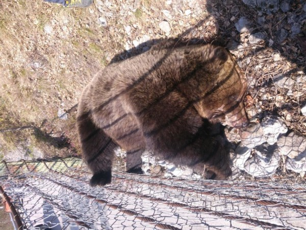 orso morto 2