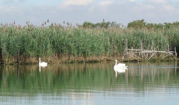 Cigni laguna