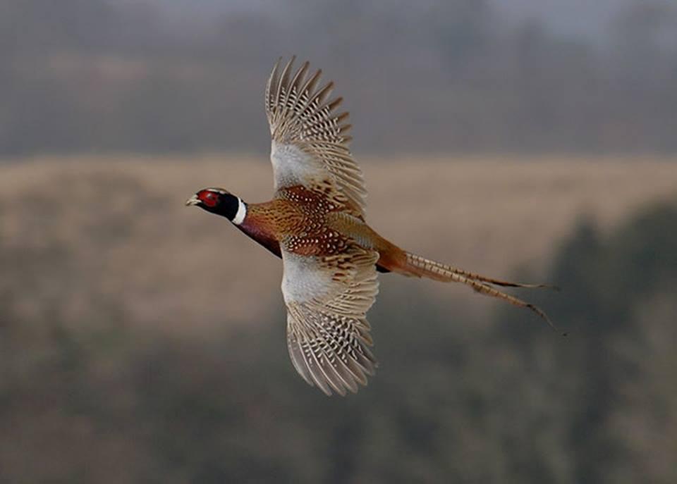 Lombardia.Influenza aviaria: bloccata l'immissione di selvaggina in molti comuni