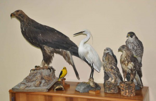 Uccelli imbalsamati..
