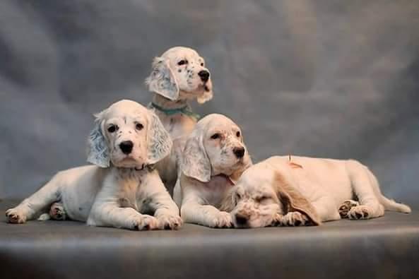 Setter inglesi cuccioli