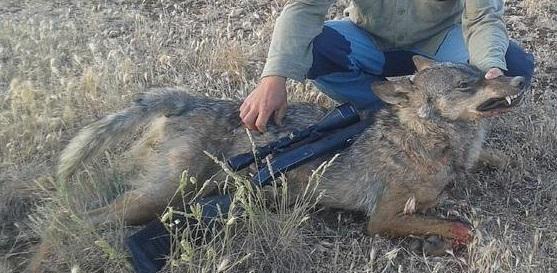 Caccia al lupo .-.