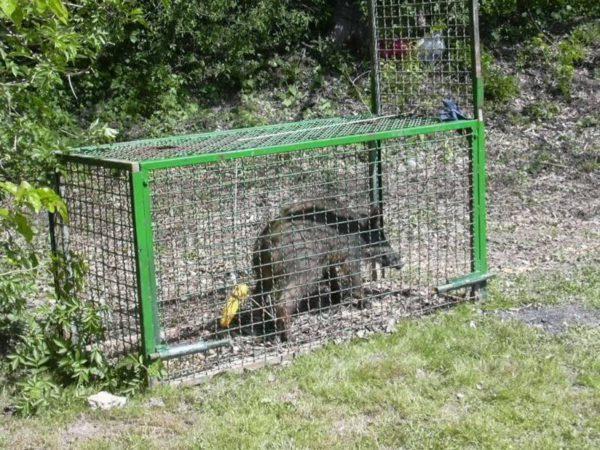 Cinghiale catturato in gabbia