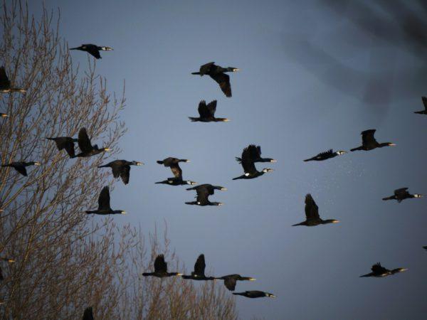 cormorani-volo