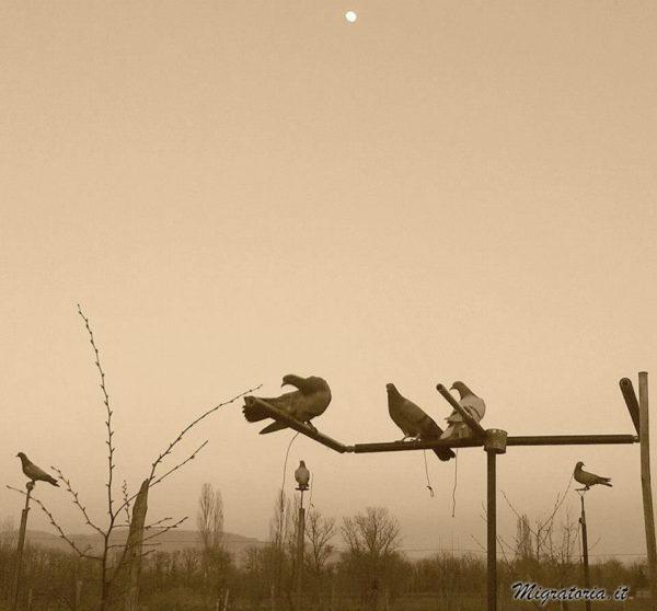 piccioni-da-richiamo-migratoria