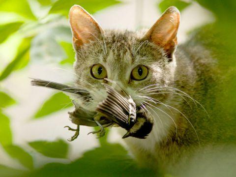 gatto-caccia-uccello
