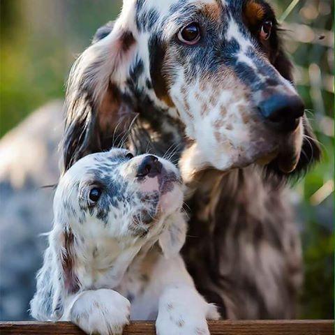 setter-inglese-con-cucciolo
