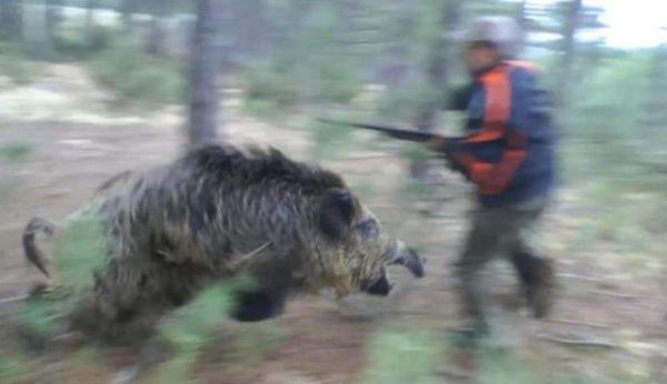 cinghiale-aggredisce-cacciatore-mygratoria