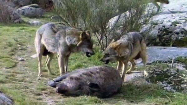 lupi-attaccano-cinghiale