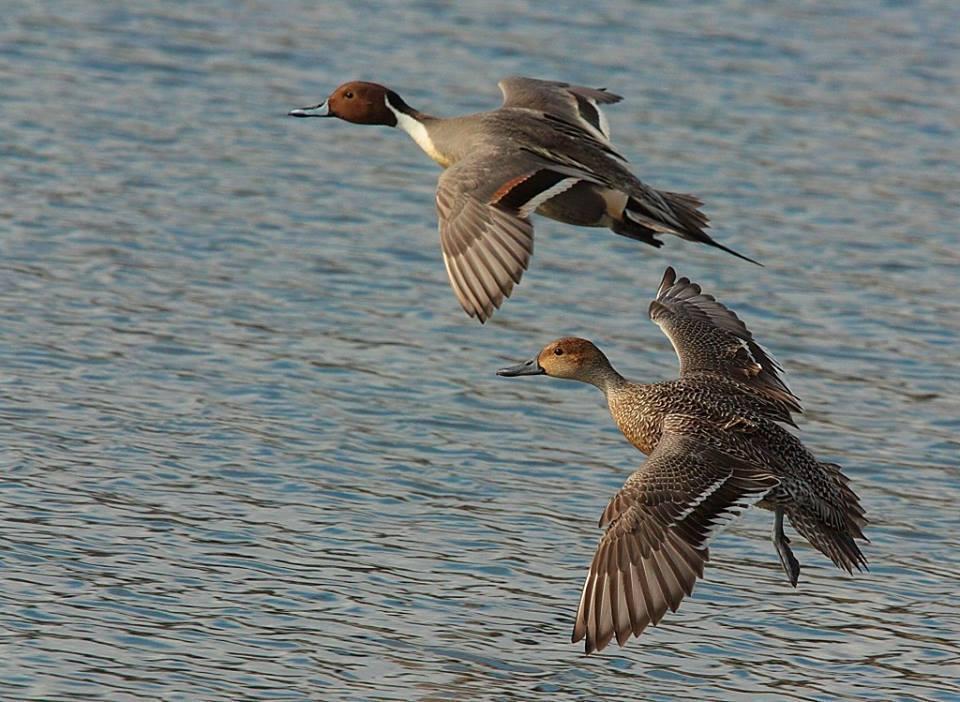 Le carpe specie invasiva mettono a rischio la sopravvivenza degli uccelli acquatici