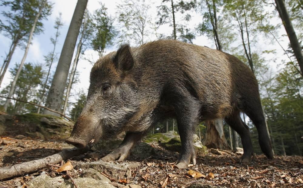 Emergenza fauna selvatica, le regioni chiedono al governo di intervenire
