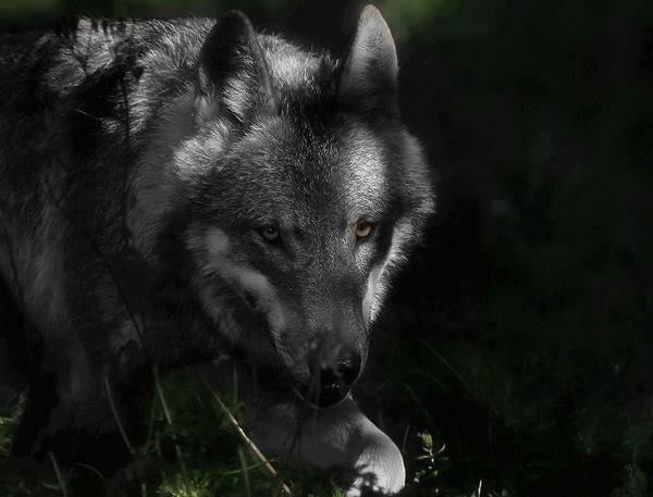 Gli ATC Alessandrini chiedono aiuto ai cacciatori per raccogliere dati sui lupi