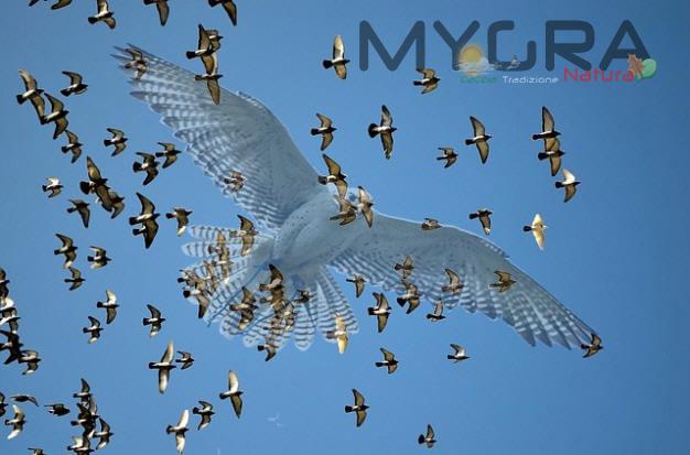 Falco piccioni 1