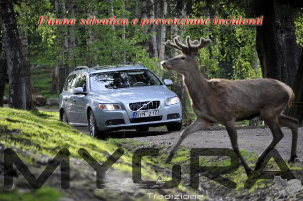 Collisione con cervo 1