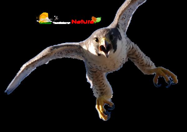 falco-pellegrino