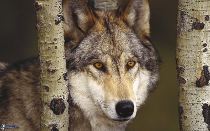 Quanti lupi ci sono in italia for Quanti deputati ci sono