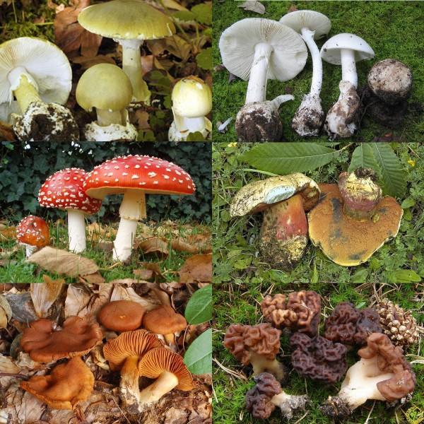 Funghi tossici