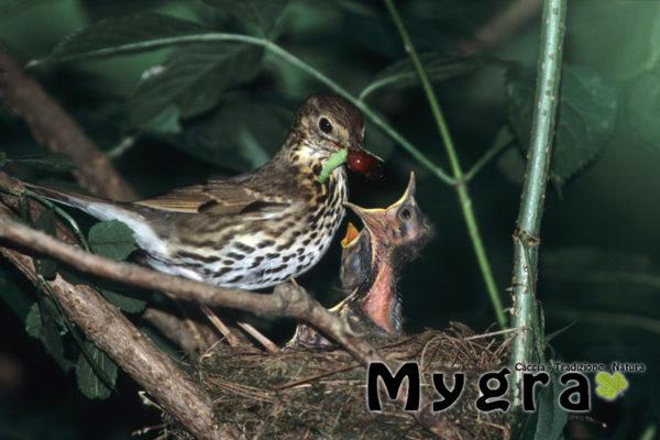 Tordo B sul nido