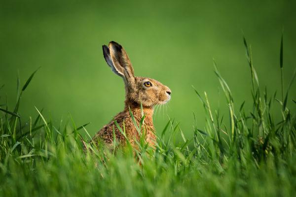 Lepre nell'erba