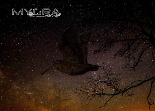 beccaccia-in-volo-nel-celo-stellato-migratoria600x430
