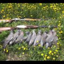 Woodpigeon-Shooting-over-Spring-Rape