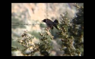 Air-rifle-crow-and-magpie-hunting-27.-pest-control-Air-arms-xtra-fac-sl-410-5.5