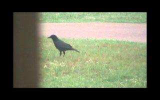 Crow-Hunting-GRAPHIC-3030