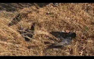 Kansas-Crow-Hunt-Part-1