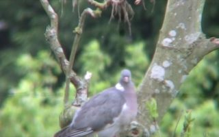Woodpigeon-Shooting-4-Slow-Motion