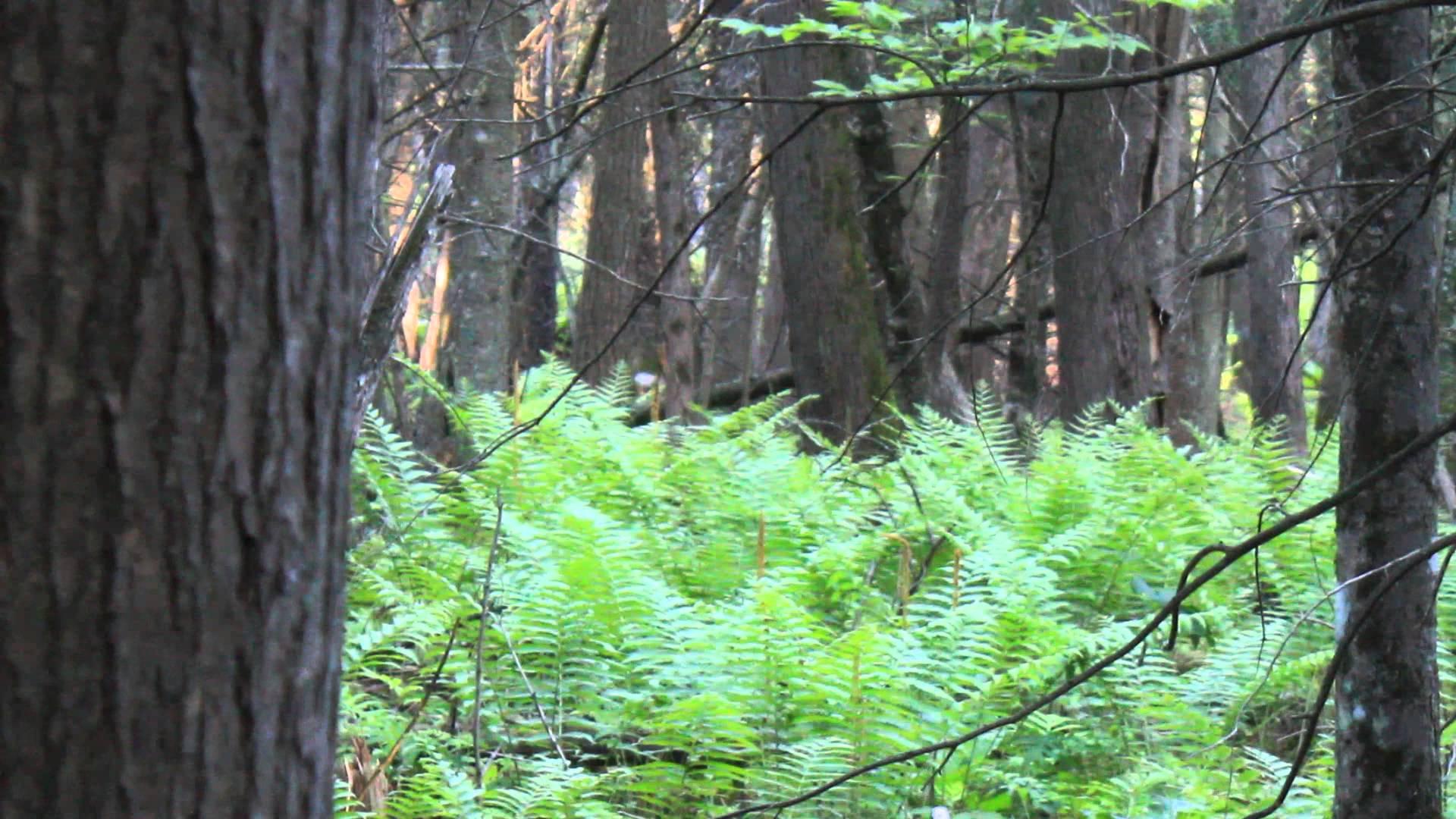 Hermit Thrush call in the swamp –
