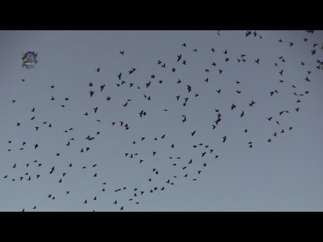 PIGEON Ramier / Migration / Panique ! BRUITX –