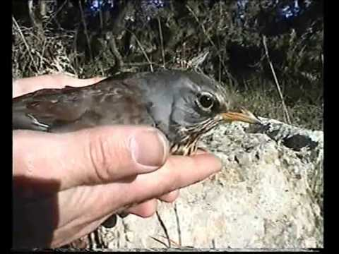 Tendelles – stone crush traps for birds used in France / a CABS video / Steinquetschfallen –